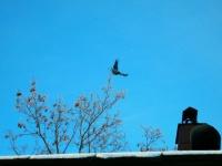 Полет ворона