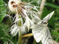 Бабочка и одуванчик.